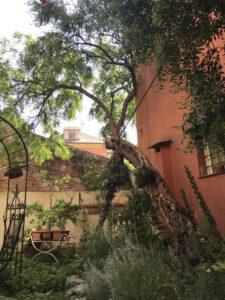 albero del giuggiolo